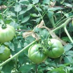 Green Maters - 7-13-11