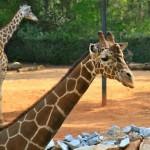 Abu, the papa giraffe, up close and personal at Twiga Terrace